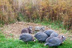 guinea hen flock