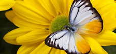 yellow flower with butterfly